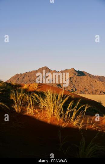 grass in the Namib desert, Namibia, Sossusvlei , Namib Naukluft National Park - Stock Image