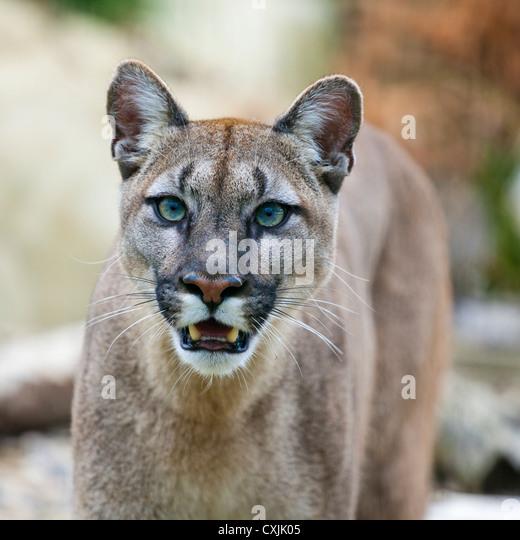 Puma (Puma concolor) - Stock-Bilder