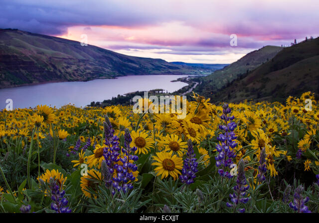 View of Oregon's Columbia River Gorge during the spring wildflower bloom - Stock Image