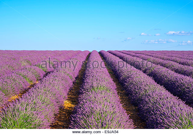 Rows of purple lavender in height of bloom in early July in field on the Plateau de Valensole, Provence, France - Stock Image