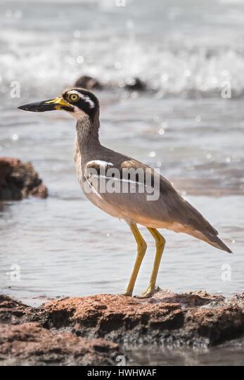 Beach Stone-curlew (Esacus magnirostris) - Stock Image