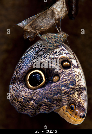Blue Morpho Butterfly Emerging From Chrysalis. - Stock Image