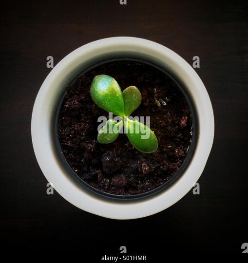 Small pot of money plant - Stock Image