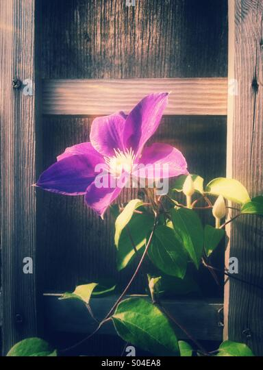 Purple clematis flower - Stock Image