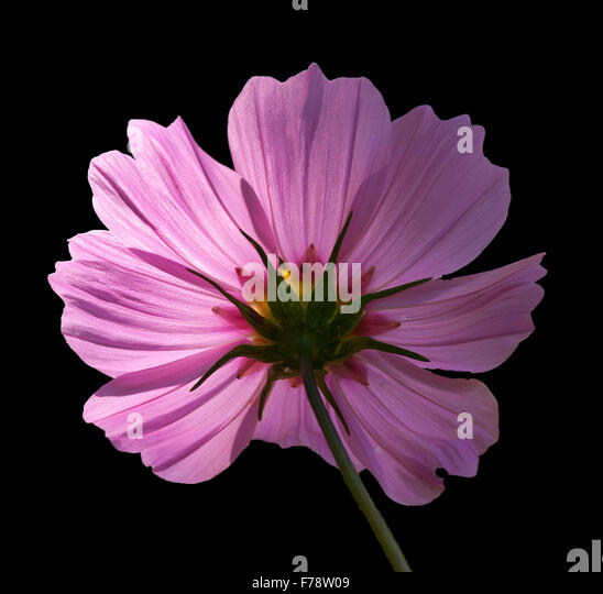 Backlit magenta flower black background - Stock Image