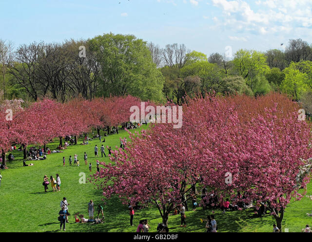 People enjoying deep pink tree blossoms in the Cherry Esplenade at the Brooklyn Botanic Gardens. - Stock Image