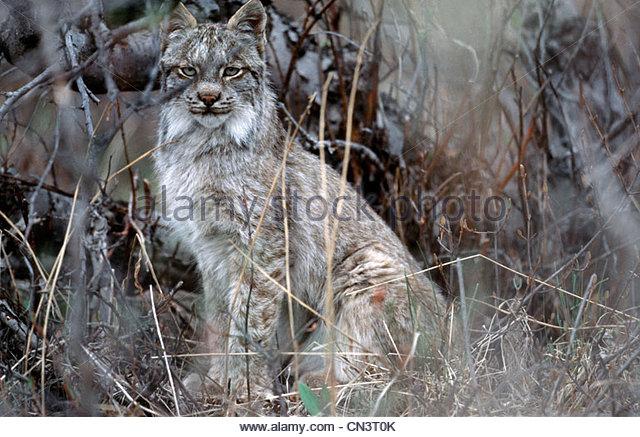 Canada Lynx, Arctic National Wildlife Refuge, Alaska - Stock-Bilder
