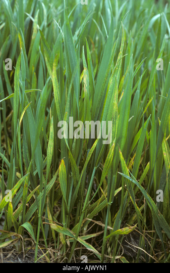 Symptoms of magnesium deficiency in a young wheat crop - Stock Image