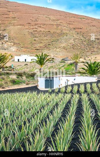 Cultivated Aloe Plants On A Farm Fuerteventura Canary Islands Spain - Stock-Bilder