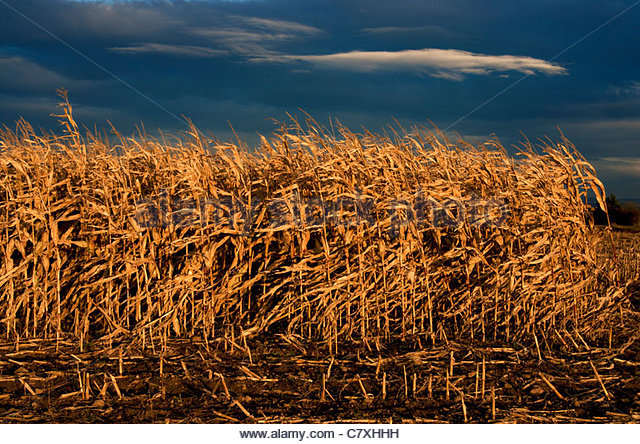 Maize stalks blowing in the wind under a blue summer sky - Stock Image
