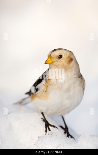 SNOW BUNTING Plectrophenax nivalis Profile of an adult perched on snowCairngorm Mountains, Scotland, UK - Stock-Bilder