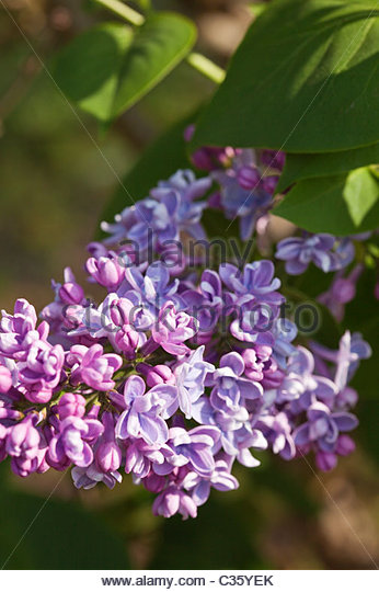 Syringa vulgaris 'Firmament' flowering in spring - Lilac - Stock Image