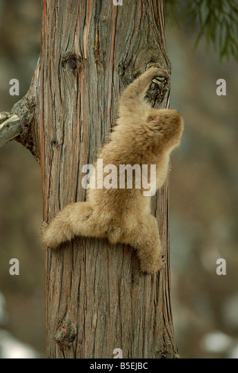 Japanese macaque or snow monkey Macaca fuscata climbing tree series 3 of 3 - Stock Image