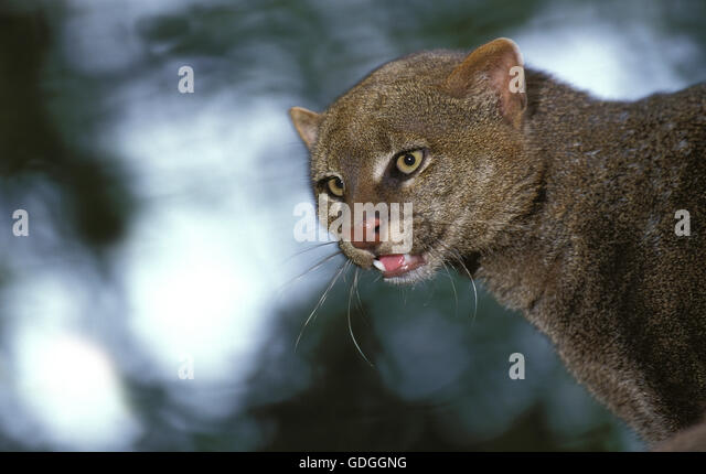 Jaguarundi, herpailurus yaguarondi, Portrait of Adult - Stock Image