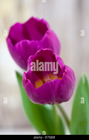 Portrait shot of purple tulips against a worn timber background. - Stock Image
