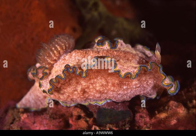 Glossodoris cincta - Stock Image
