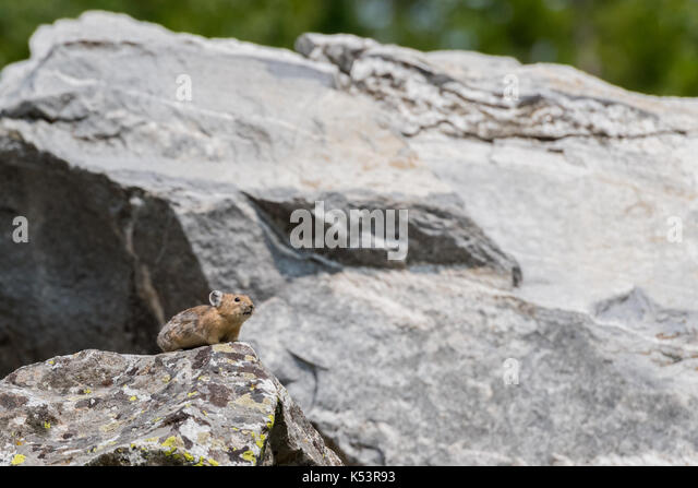 Pika Perches on Rock in Boulder Field with copy space to right - Stock Image