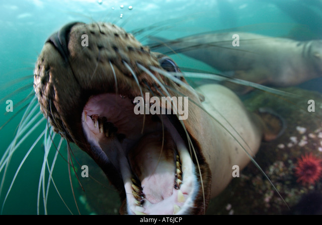 nx0181-D. Steller Sea Lion, Eumetopias jubatus. Playful sea lion opens mouth in front of camera. Photo Copyright - Stock-Bilder