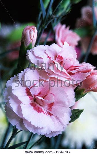old fashioned pink Dianthus Doris - Stock Image
