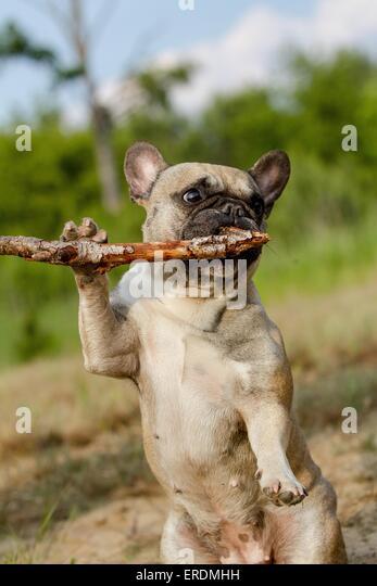 how to teach a french bulldog tricks