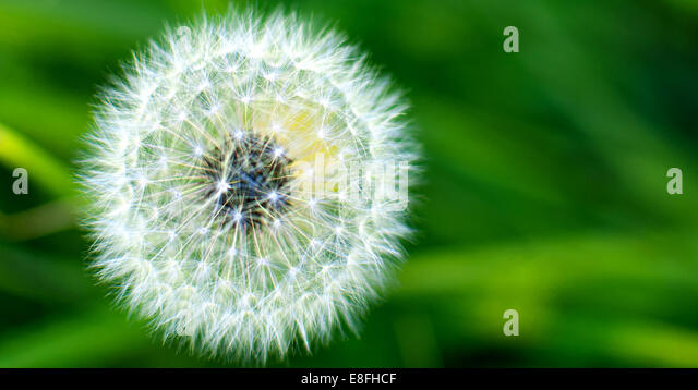 USA, Idaho, Up close of wild dandelion - Stock-Bilder