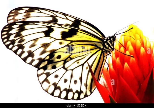 Exotic Butterfly drinking nectar - Stock Image