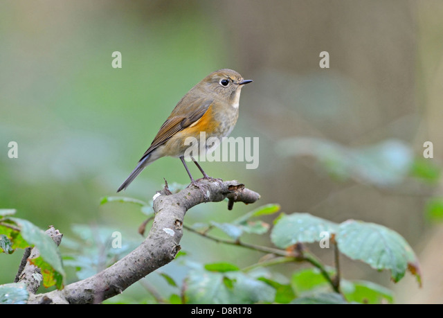 Red-flanked Bluetail (Tarsiger cyanurus), 1 st winter Stiffkey Norfolk October 2012 - Stock Image