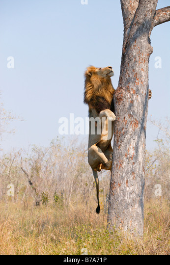 A male lion climbing the vertical stem of a Marula tree to scavenge the remains of a leopard kill - Stock Image