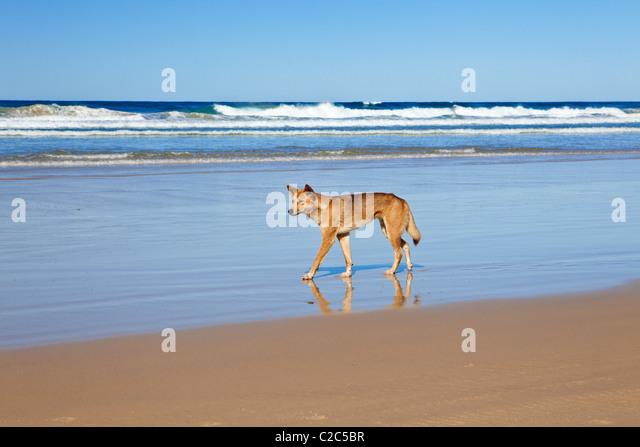 Wild Dingo Fraser Island Queensland Australia - Stock Image