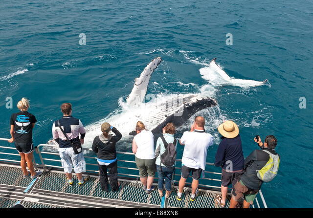 Whale watchers viewing a Humpback whale (Megaptera novaeangliae) breaching, Hervey Bay, Queensland, Australia, Pacific - Stock Image