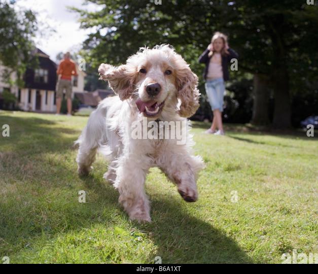 Dog running towards camera - Stock Image