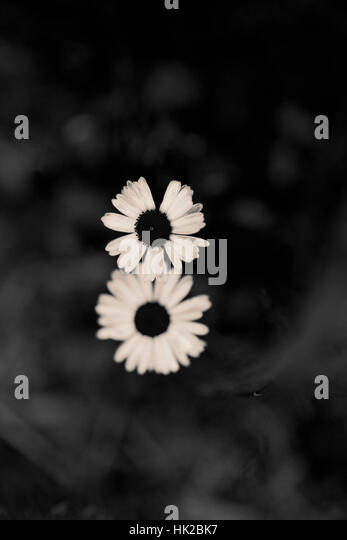Top view of two garden flowers. Black and white nature detail. - Stock-Bilder