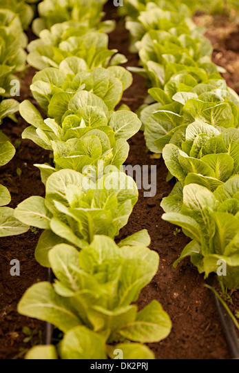 High angle view of organic green leafy lettuce growing in rows - Stock Image