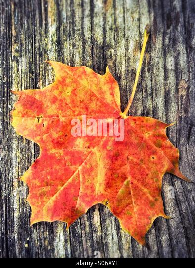 Red leaf in autumn - Stock Image