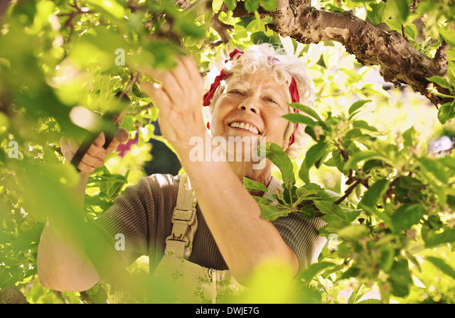 Happy elder woman pruning dried buds from the tree. Senior lady gardening in her farm smiling - Stock Image
