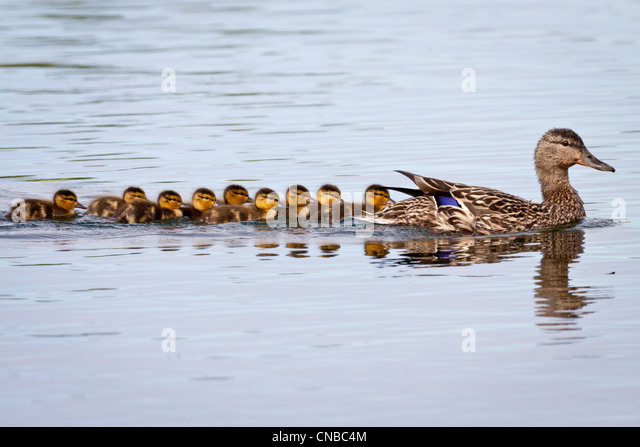 A Mallard hen with brood of chicks following, Cheney Lake, Anchorage, Southcentral Alaska, Spring - Stock Image