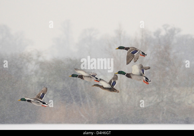 Four Mallard drakes (Anas platyrhynchos) and a duck flying over frozen lake in snowstorm, Wiltshire, England, UK - Stock Image