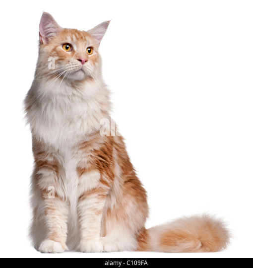 Maine Coon cat, 14 months old, in front of white background - Stock Image