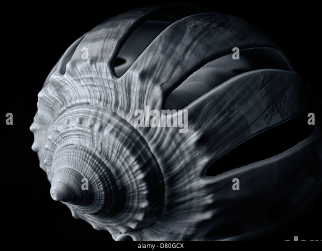 Close up of Sliced Grey Bonnet sea shell. - Stock Image