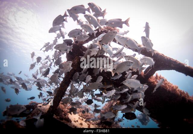 Underwater view of school of lowfin drummers (kyphosus vaigiensis) swimming around wreckage, Lombok, Indonesia - Stock Image