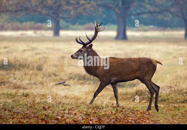 Red Deer (Cervus Elaphus) stag portrait, Richmond Park, UK - Stock Image