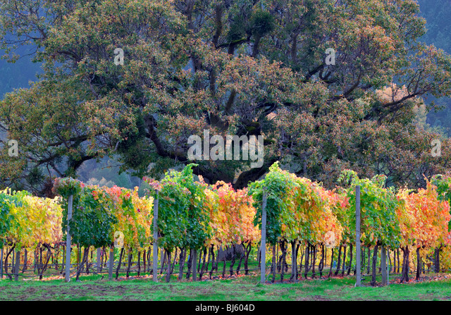 Vineyard and oak tree in fall color. Near Applegate, Oregon - Stock-Bilder