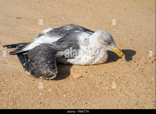 Injured sea bird - Stock Image