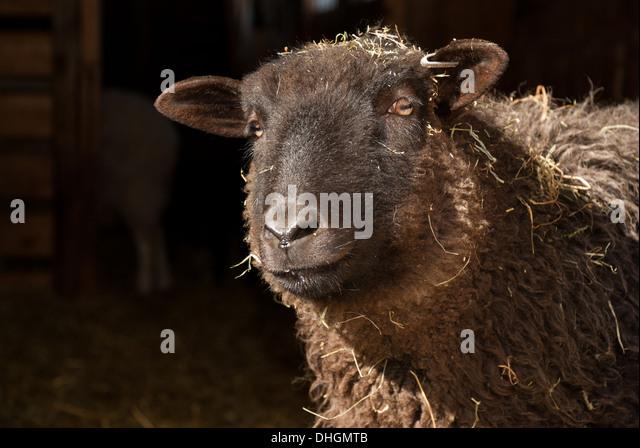 Black mother sheep - Stock Image