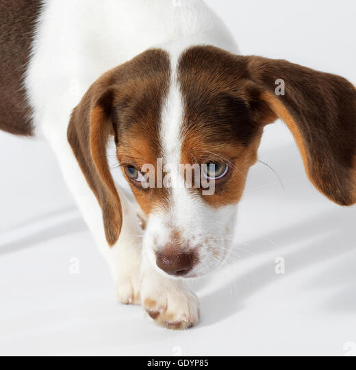 Beagle puppy nose down, eyes looking up. - Stock Image