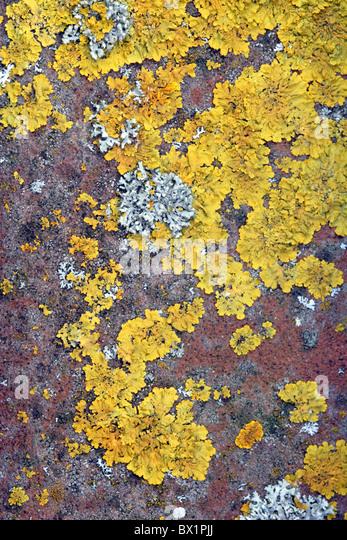 Lichen (Xanthoria parietina) growing on tile - Stock-Bilder