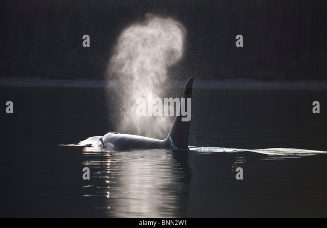 Orca Whale surfaces along a forested shoreline in Alaska's Inside passage, Admiralty Island, Tongass National - Stock Image