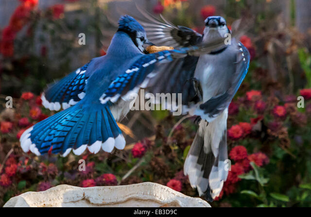 Two blue jays battle it out over peanut - Stock Image