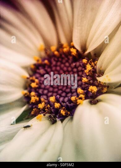 Close up of a cineraria flower - Stock Image