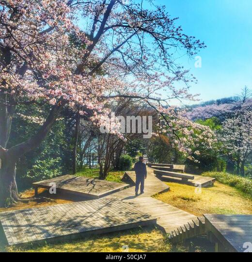 Man walking down wooden decks for hanami or cherry blossom viewing in Japan. Taken on a bright, lovely Spring morning. - Stock Image